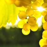 Наливка с белым виноградом